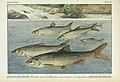 Unsere Süßwasserfische (Tafel 45) (6102605799).jpg