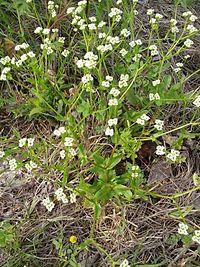 Valerianella radiata flowering plant.jpg