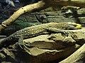 Varanus salvadorii.005 - Zoo Aquarium de Madrid.JPG