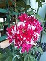 Variegated Roses.jpg