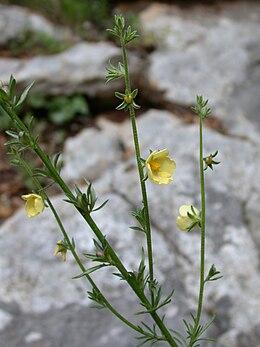 Verbascum orientale 1