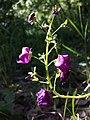 Verbascum phoeniceum sl8.jpg