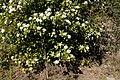 Viburnum tinus-Viorne tin-20190311.jpg