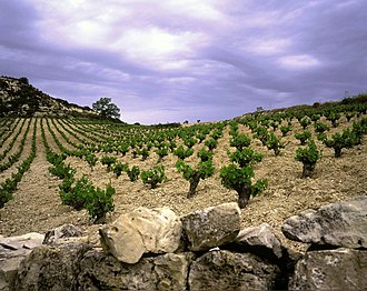 Cypriot wine - A typical Cypriot vineyard