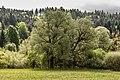 Villach Federaun Federauner Strasse Mischwald West-Ansicht 10052017 8311.jpg