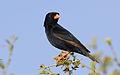 Village indigobird, Vidua chalybeata, at Mapungubwe National Park, Limpopo, South Africa (male) (18038277781).jpg