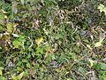 Vincetoxicum rossicum SCA-04848.jpg