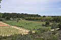Vineyard, Pinet, Hérault 06.jpg