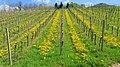 Vineyard - Sasbach 02.jpg