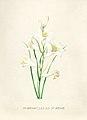 Vintage Flower illustration by Pierre-Joseph Redouté, digitally enhanced by rawpixel 11.jpg