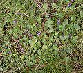 Viola odorata2 ies.jpg