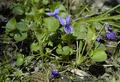 Viola odorata whole.png