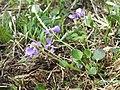 Viola rupestris sl2.jpg