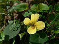 Viola sempervirens 38683.JPG