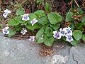 Viola sororia in Korea.jpg