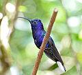 Violet Saberwing (6901496424).jpg