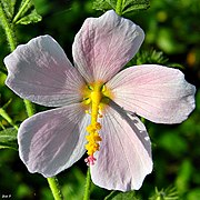 Virginia saltmarsh mallow (Kosteletzkya virginica) (7513257570).jpg