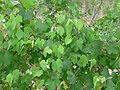 Vitis arizonica 5.jpg