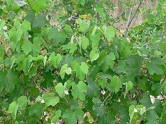 Vitis arizonica - Image: Vitis arizonica 5