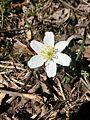 Vitsippa (Anemone nemorosa) i Planteringsförbundets park, Falköping 2189.jpg