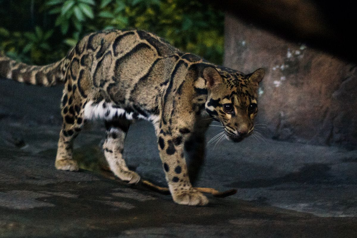 Clouded leopard Wikipedia