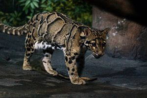 Clouded leopard - A clouded leopard at the Cincinnati Zoo and Botanical Garden