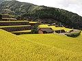 Warabino rice terrace 6.jpg