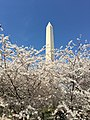 Washington Monument Cherry Blossoms.jpg