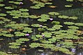 Water Lily (Nymphaea nouchali) in Panchatheertha Pond, Thirunelli Temple 01.JPG