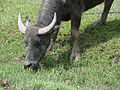 Water buffalo cow, Bario, Sarawak.jpg