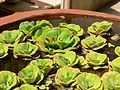 Water lettuce (414658366).jpg