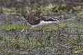 Wattled jacana (Jacana jacana hypomelaena) immature.jpg