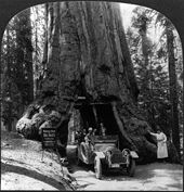 An early automobile carrying a group of people drives through a tunnel cut through a very large tree.
