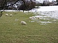 Welsh mountain sheep - geograph.org.uk - 133149.jpg