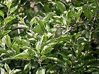 Western Crowned Warbler I IMG 3954