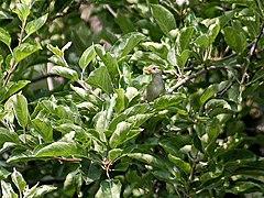Western crowned warbler - Wikipedia, the free encyclopedia  Western crowned...