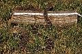 Western Diamondback Rattlesnake (Cortalus atrox) (1750367431).jpg