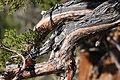 Western juniper Juniperus occidentalis branches needles.jpg