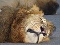 Wet Lion (Panthera leo) nose close-up (12818249133).jpg
