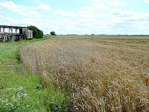 English: Wheat crop by Owen's farm Approaching...
