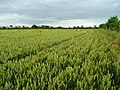 Wheat crop by the Ise - geograph.org.uk - 891051.jpg