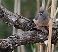 White-backed Mousebird 2.jpg