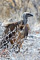 White-backed Vulture on Ground 2019-07-24.jpg