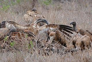 Efter att lejonen har ätit sig mätta på zebran, tar gamarna vid och sätter i sig det lejonen inte kan äta.