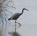 White-faced Heron 2 (31725029445).jpg