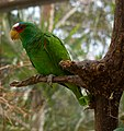 White-fronted Amazon (Amazona albifrons) -tree-3c.jpg