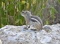 White-tailed Antelope Squirrel DSC4228vv.jpg