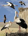 White Stork from the Crossley ID Guide Britain and Ireland.jpg