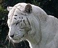 White Tiger 4 (5018373018).jpg