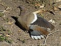 White Winged Dove Flexing Feathers.jpg